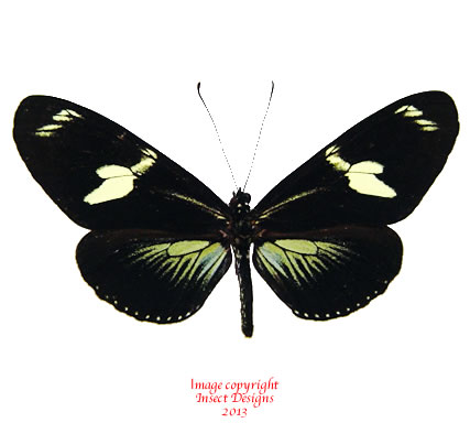 Heliconius doris green (Colombia)