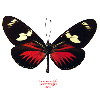 Heliconius doris red (Colombia) A-