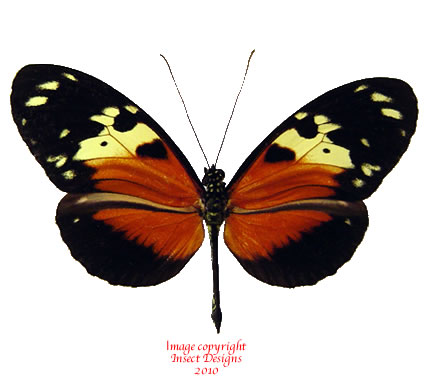 Heliconius hecale (Colombia) A-