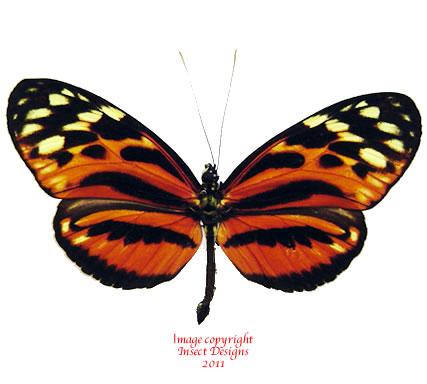 Heliconius hecale (Peru) A-