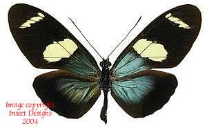 Heliconius sara (Peru) A-