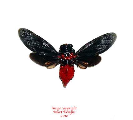 Hueschys sanguina (Thailand) A2