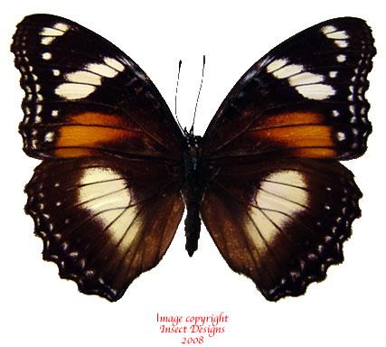Hypolimnas bolina (Java)