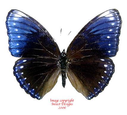 Hypolimnas anomala (Philippines) A-