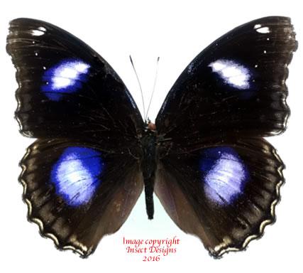 Hypolimnas bolina (Madagascar)