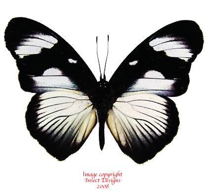 Hypolimnas sp. (Tanzania) A-