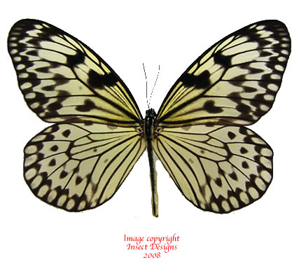 Idea leuconoe gordita (Philippines)