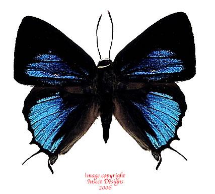 Iraota rachana lazarena (Philippines)