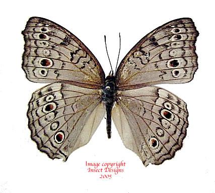 Junonia atlites atlites (Philippines) A-