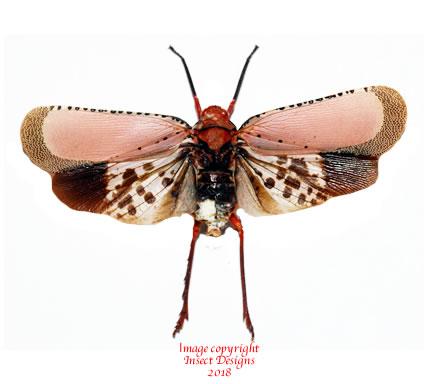 Kalidasa nigromaculata (Thailand)