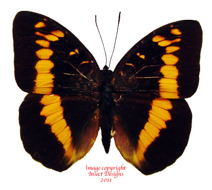 Lexias aeropus choirilus (Papua)