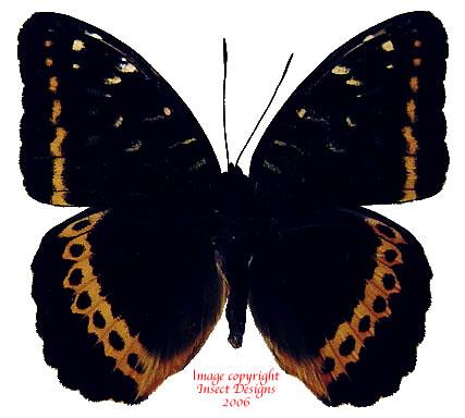 Lexias panopus visayana (Philippines)