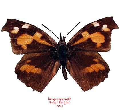 Libythea lepita (Korea)