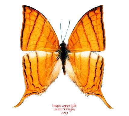 Marpesia harmonia (Peru) A-