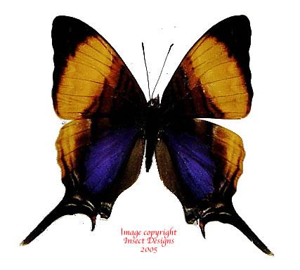 Marpesia marcella (Peru) A2