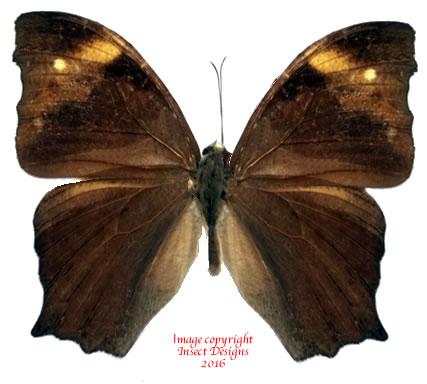 Melanitis atrax (Philippines)