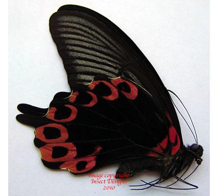 Menelaides rumanzovia x Papilio oenomaus (Indonesia)