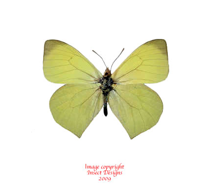 Mathania agasicles (Peru)