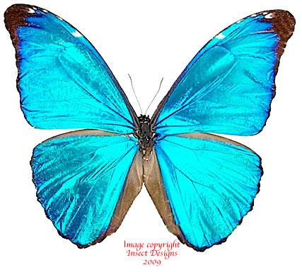 Morpho absoloni (Peru)