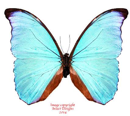 Morpho amathonte (Costa Rica) A2