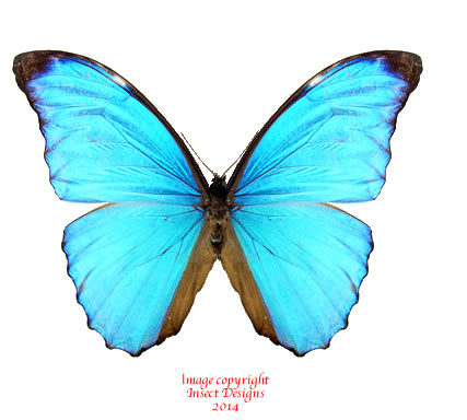 Morpho amathonte amathonte (Colombia) A-