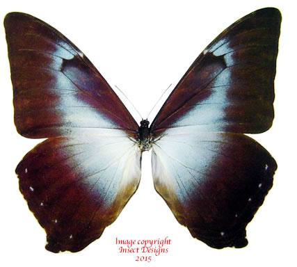 Morpho cisseis gahua - blue (Peru)