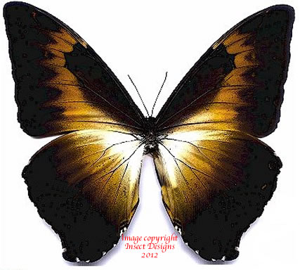 Morpho cisseis phanodemus gahua brown (Peru) A1 and A2