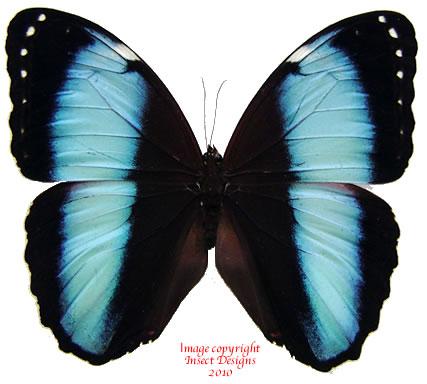 Morpho achilles patroclus (Peru) A2