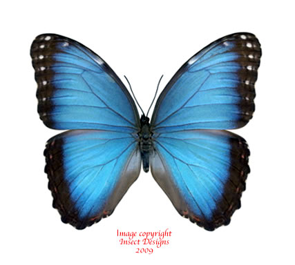 Morpho peleides (Colombia) A1 and A2
