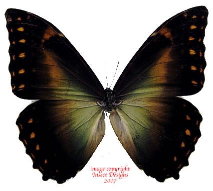 Morpho telemachus iphiclus (Peru) A2