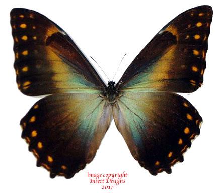 Morpho telemachus penelope (Peru) A-