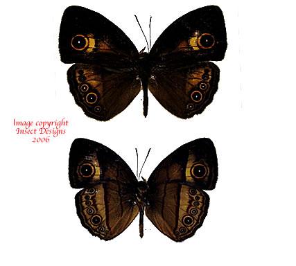 Mycalesis ita ita (Philippines) A-