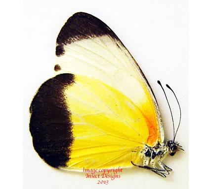 Mylothris chloris (RCA) A-