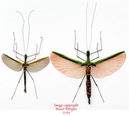 Necroscia sp. (Java) A-