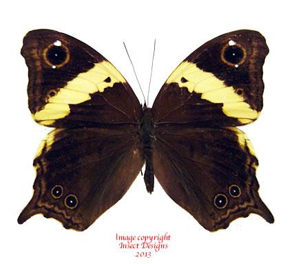 Neorina sp. (Java)
