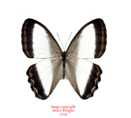 Oressinoma typhia (Peru)