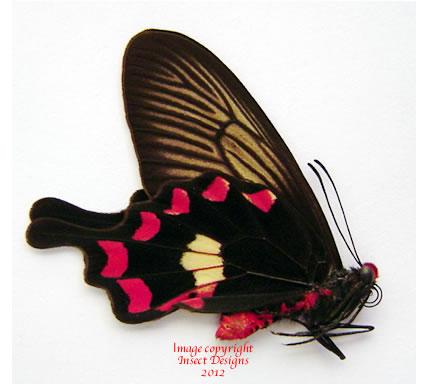 Pachliopta aristolochiae (Kangean)
