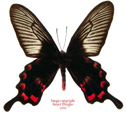 Pachliopta kotzebuea tindongana (Philippines) A-