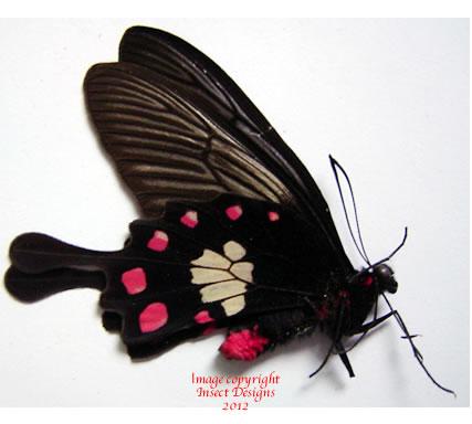 Pachliopta mariae mariae (Philippines)