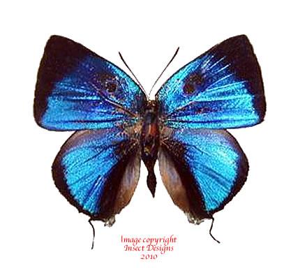 Panthiades bitias (Peru) A2