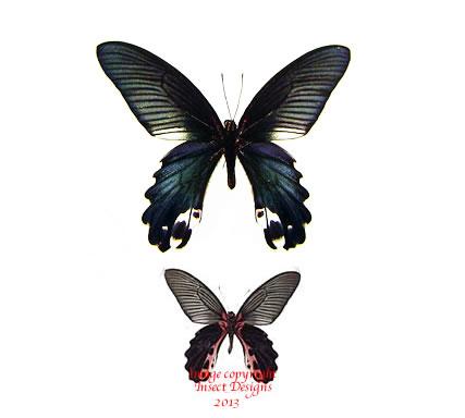 Papilio alcmenor f. leucocelis (Thailand) A2