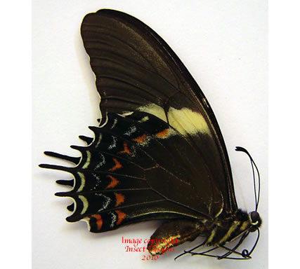 Papilio androgeus laudocus (Argentina) A- and A2