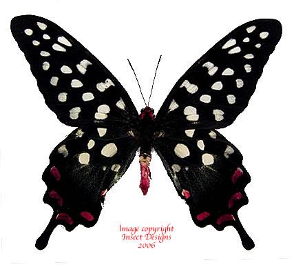 Papilio antenor (Madagascar)