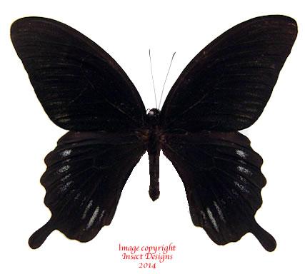 Papilio deiphobus deiphobus (Ceram)