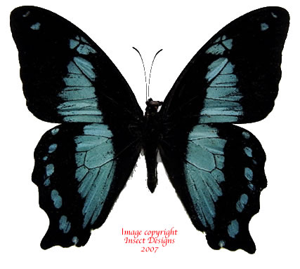 Papilio desmondi (Tanzania) A2