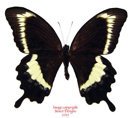 Papilio fuscus (Makira, Solomons)
