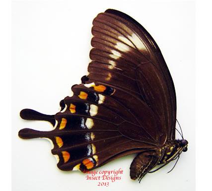 Papilio fuscus xenophilus (Guadalcanal, Solomons) A-