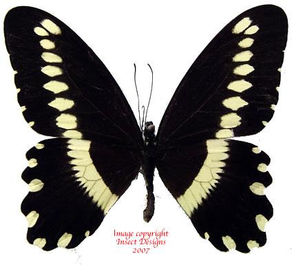 Papilio gallienus (RCA)