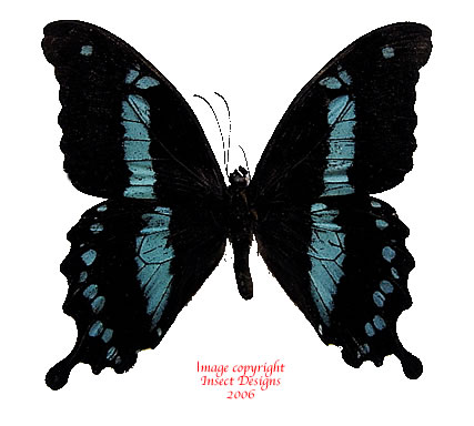 Papilio hornimani (Tanzania)