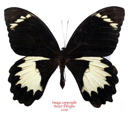 Papilio aegeus (Arfak)